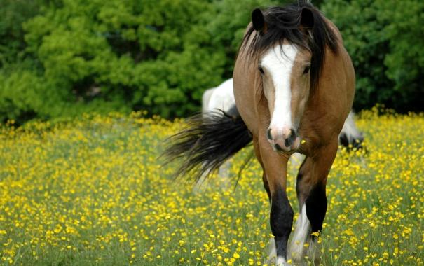 Фото обои поле, трава, морда, цветы, конь, поляна, лошадь