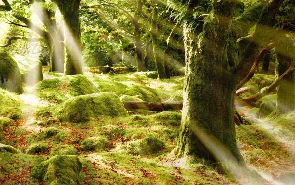 Фото обои лес, лучи, деревья, блики, листва, мох, солце