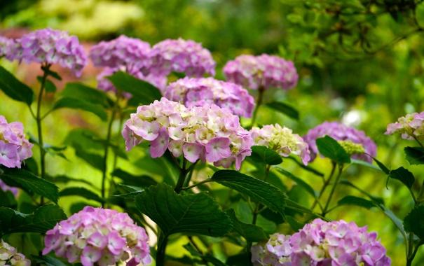 Фото обои листья, цветы, куст, лепестки, цветение, гортензия
