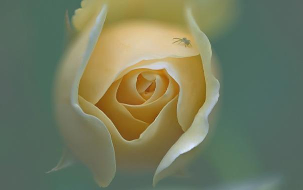 Фото обои цветок, роза, лепестки, бутон, насекомое