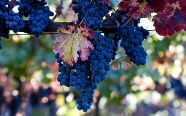 Фото обои грозди, лоза, листья, виноград