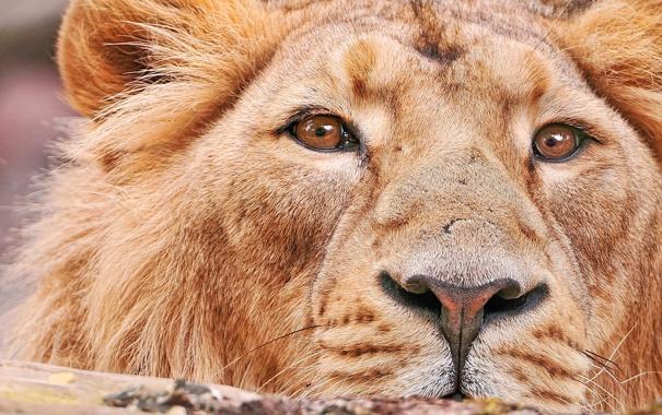 Фото обои усы, взгляд, морда, лев, крупным планом