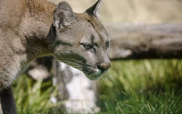 Фото обои кугуар, горный лев, морда, дикая кошка, пума, профиль, хищник