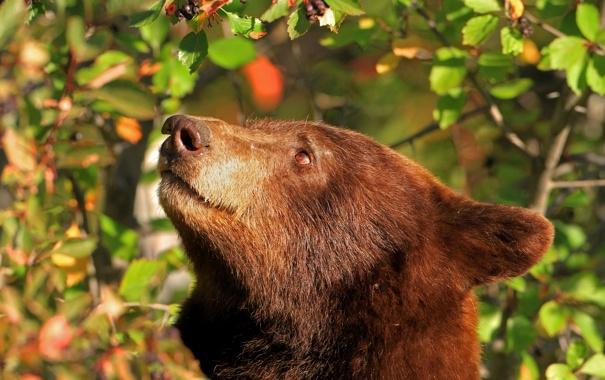 Фото обои морда, голова, медведь, барибал