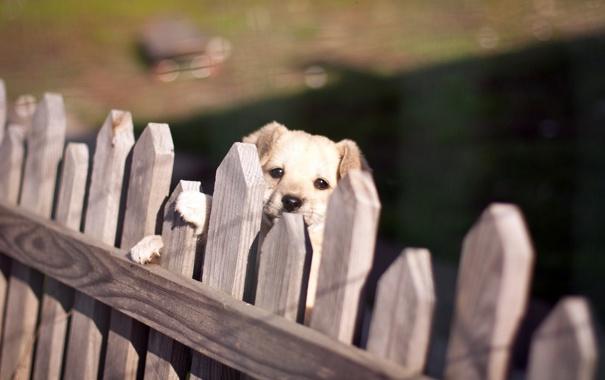 Фото обои взгляд, забор, собака
