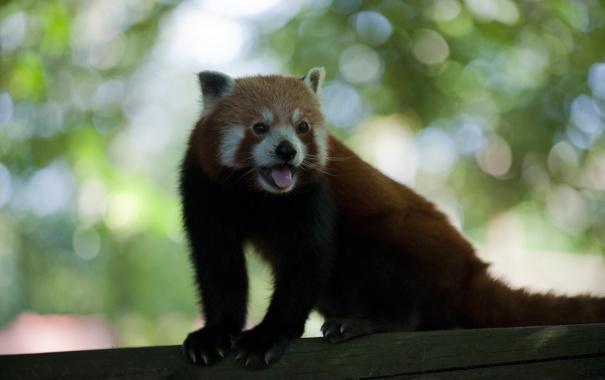 Фото обои язык, усы, панда, хвост, когти, мех, уши