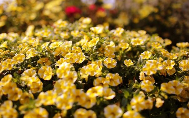 Фото обои цветы, желтый, цветение, портулак