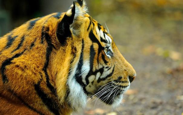 Фото обои морда, тигр, профиль, смотрит