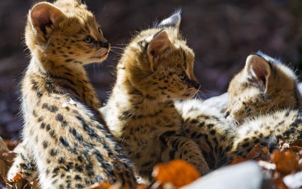 Фото обои листья, кошки, котята, профиль, малыши, сервал, детёныши