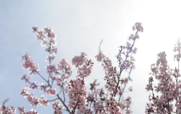Фото обои небо, солнце, лучи, цветы, ветки, природа, вишня