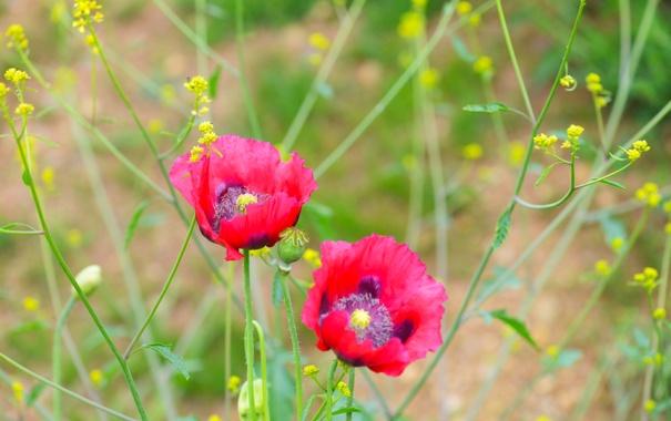 Фото обои природа, растение, мак, лепестки