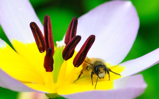 Фото обои цветок, пчела, тюльпан, лепестки, насекомое