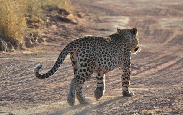 Фото обои Namibia, Африка, леопард