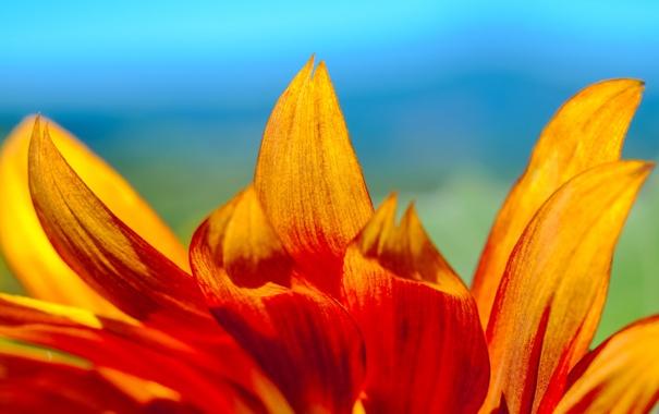 Фото обои цветок, небо, природа, лепестки