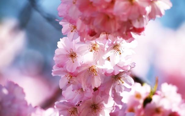 Фото обои весна, розовые, цветение, лепестки, сакура, ветви, вишня