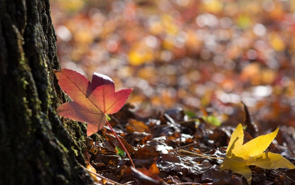 Фото обои листья, блики, дерево, опавшие, кленовые, осенние