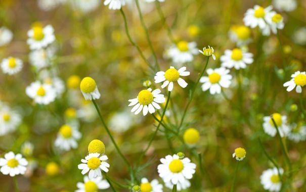 Фото обои поле, белый, цветы, желтый, фон, widescreen, обои