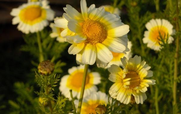 Фото обои Цветы, вечер, хризантемы