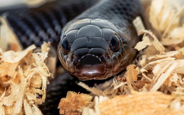 Фото обои взгляд, макро, змея, гипноз
