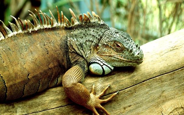Фото обои tree, iguana, reptile, scales