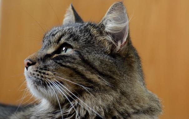 Фото обои кот, серый, фон, профиль