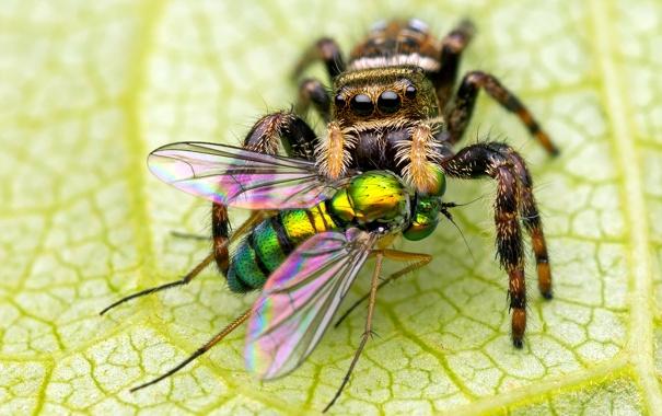 Фото обои паук, глаза, муха, лист, насекомые