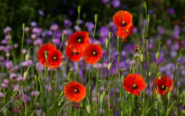 Фото обои цветы, природа, фон, маки