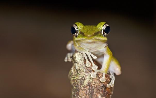 Фото обои фон, дерево, жаба, смотрит, Weng Keong Liew photography