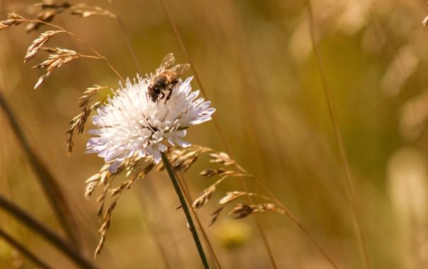 Фото обои зелень, природа, пчела, фон, луг, клевер