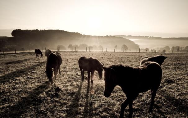 Фото обои поле, фото, фон, обои, лошади, Пастбище