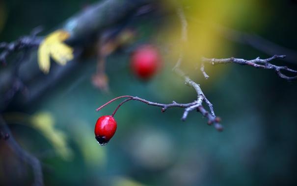Фото обои макро, ветки, ягоды, фото, фон, дерево, ветви