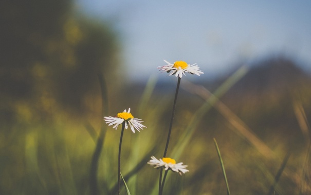 Фото обои цветок, цветы, фон, widescreen, обои, ромашки, размытие