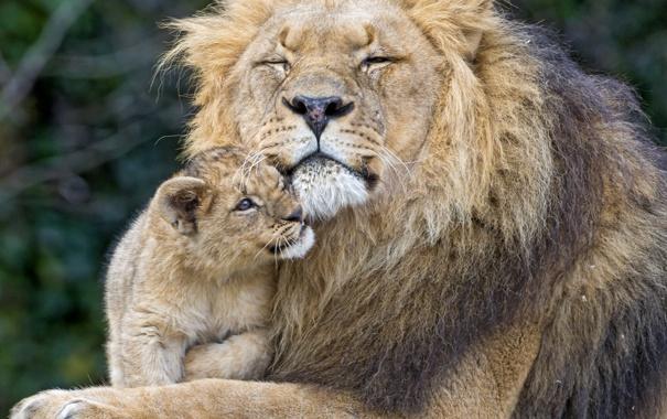 Фото обои кошки, лев, львёнок, пара ©Tambako The Jaguar