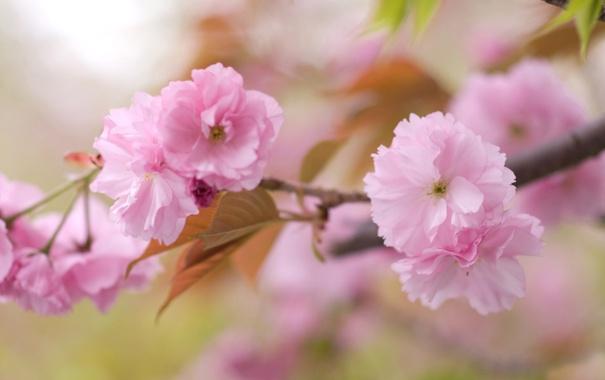 Фото обои весна, розовые, цветение, лепестки, веточка, дерево, размытость