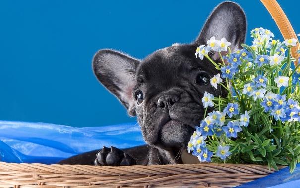 Фото обои корзина, щенок, бульдог, незабудки, пёсик, французский