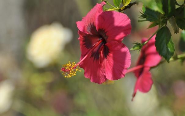 Фото обои красный, цветение, листики, тычинка, гибискус