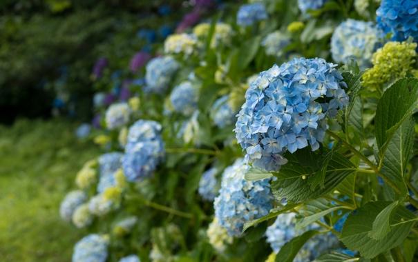 Фото обои цветы, природа, синяя гортензия, цветущие кустарники