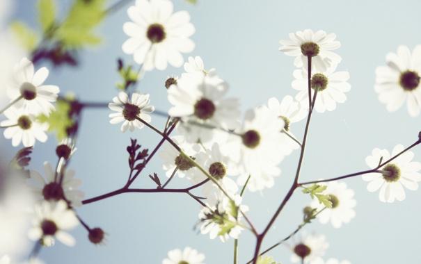 Фото обои цветок, цветы, ромашка, лепесток