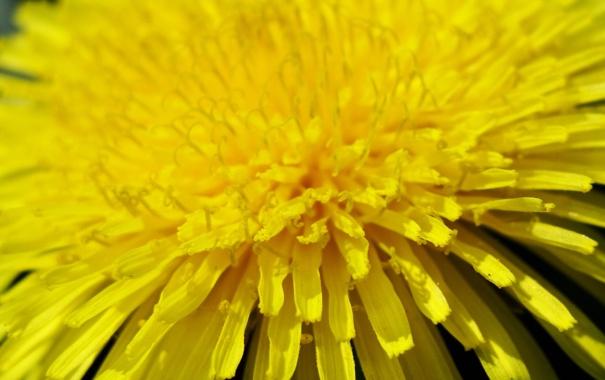 Фото обои макро, жёлтый, одуванчик, лепестки