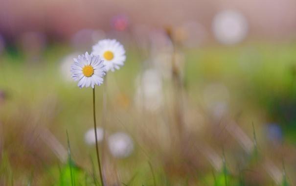 Фото обои поле, цветок, лето, трава, макро, растения, ромашка