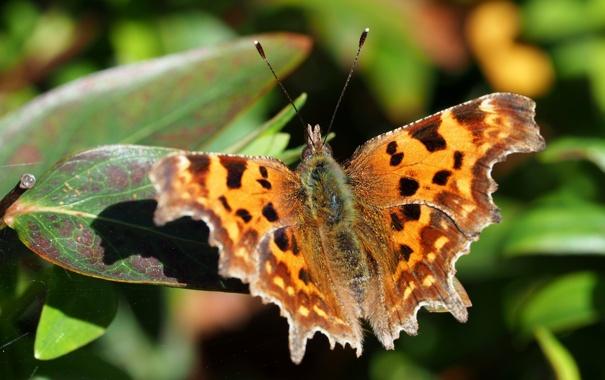 Фото обои фон, бабочка, листва, размытость, запятая