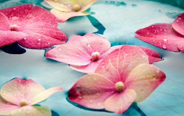 Фото обои вода, капли, цветы, гортензия