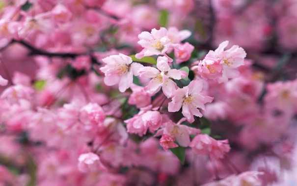 Фото обои макро, цветы, ветки, нежность, красота, весна, лепестки