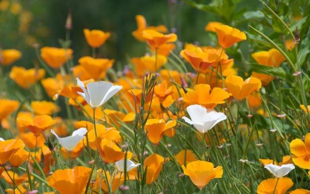 Фото обои поле, лето, трава, солнце, свет, цветы, природа