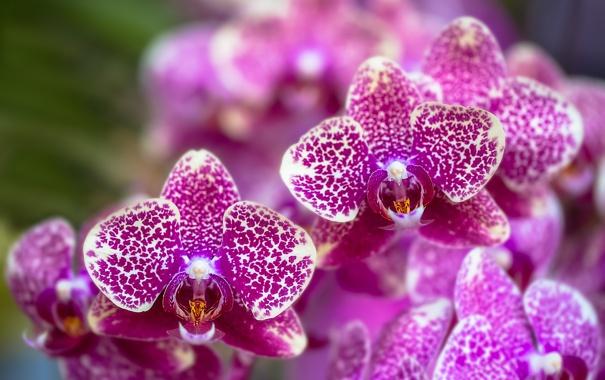 Фото обои цветы, цветение, сиреневая, орхидея, flowers, Orchid, violet