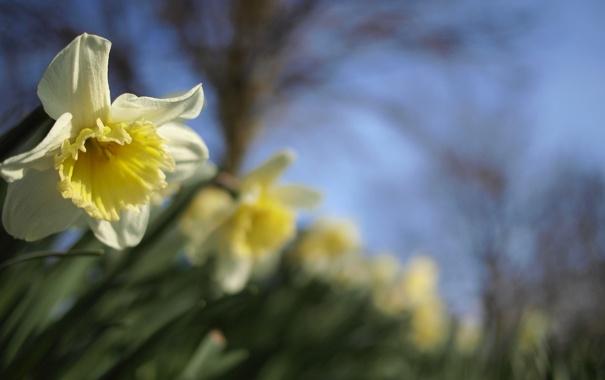 Фото обои цветы, весна, желтые, размытость, нарциссы