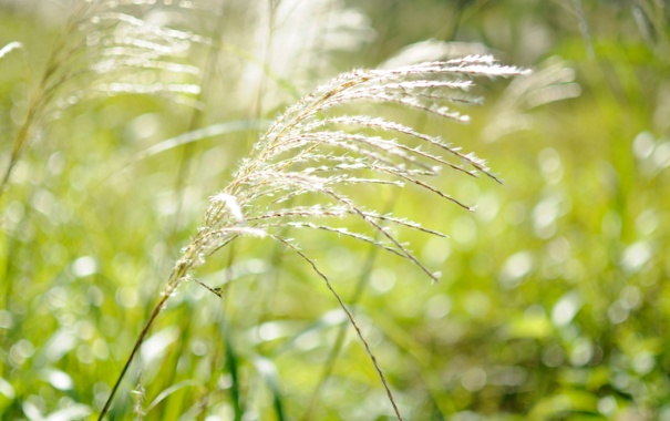 Фото обои зелень, белый, трава, макро, свет, природа, ветер