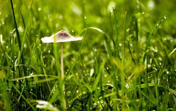 Фото обои природа, гриб, трава, макро
