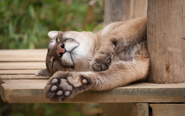 Фото обои кошка, отдых, сон, спит, пума, кугуар