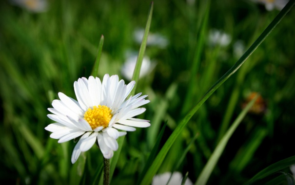 Фото обои цветок, лето, природа, ромашка, травка, цветение
